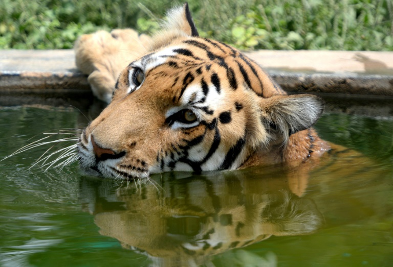 Indias wild tiger population jumps to almost 3,000: census