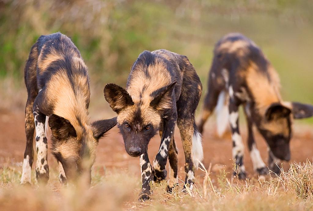 Wildlife pays the price of Kenya's illegal grazing