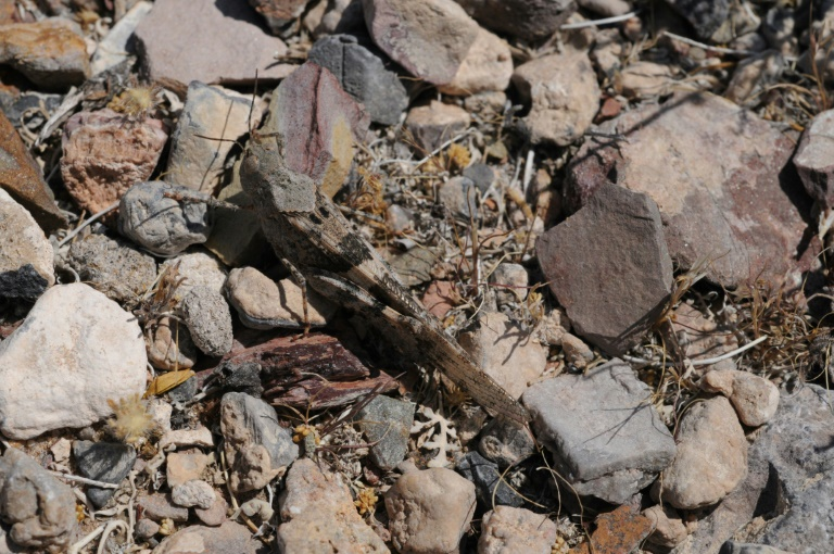 Grasshoppers invade Las Vegas Strip