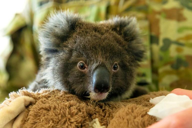 Plea for New Zealand to house fire-threatened koalas