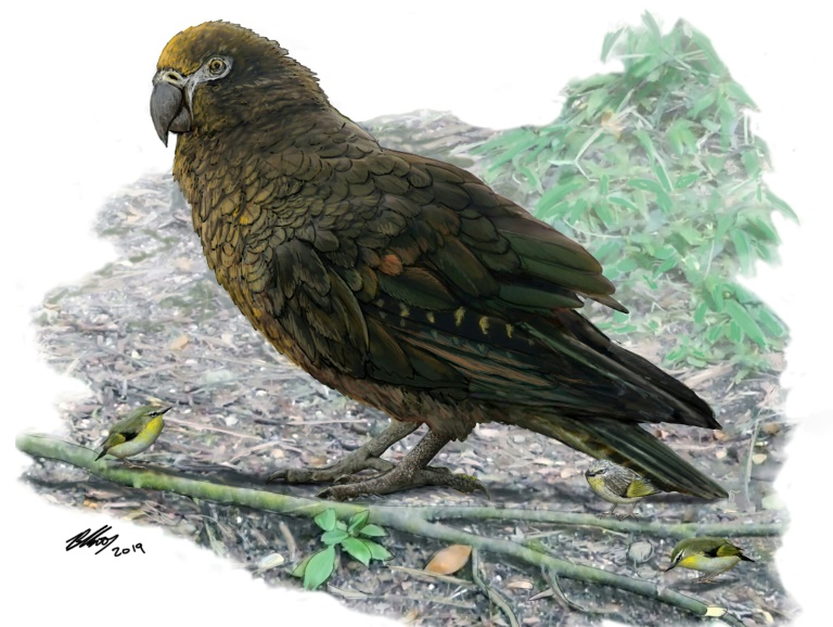 Evidence of Herculean parrot found in  New Zealand