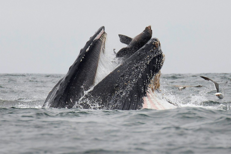 Rare photo captures sea lion falling into mouth of whale