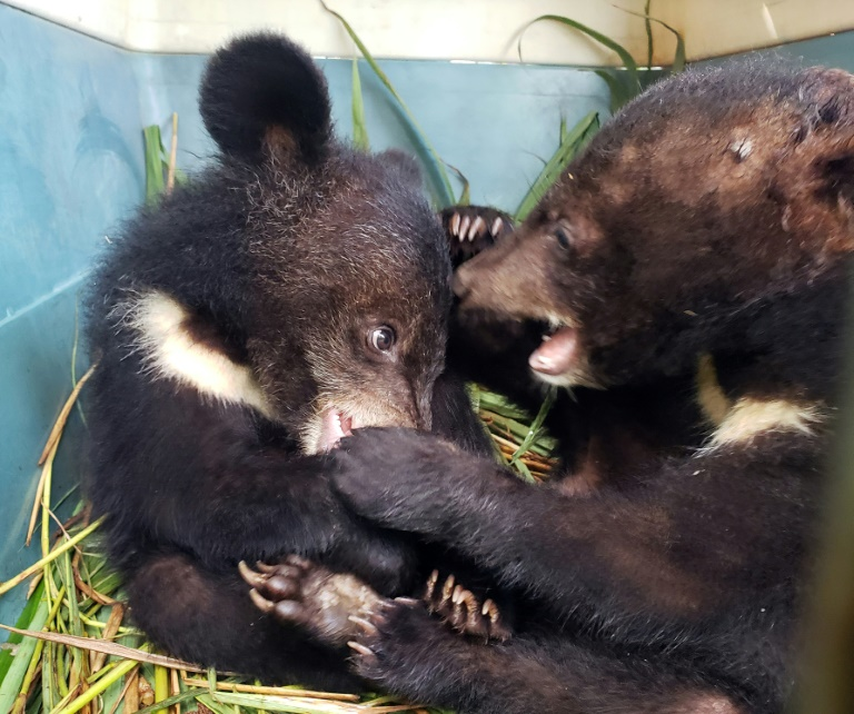 Asiatic black bear cubs rescued in remote Laos