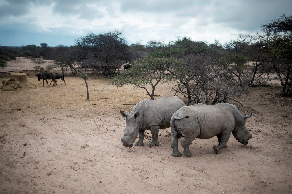 Rhino poaching dips slightly in South Africa