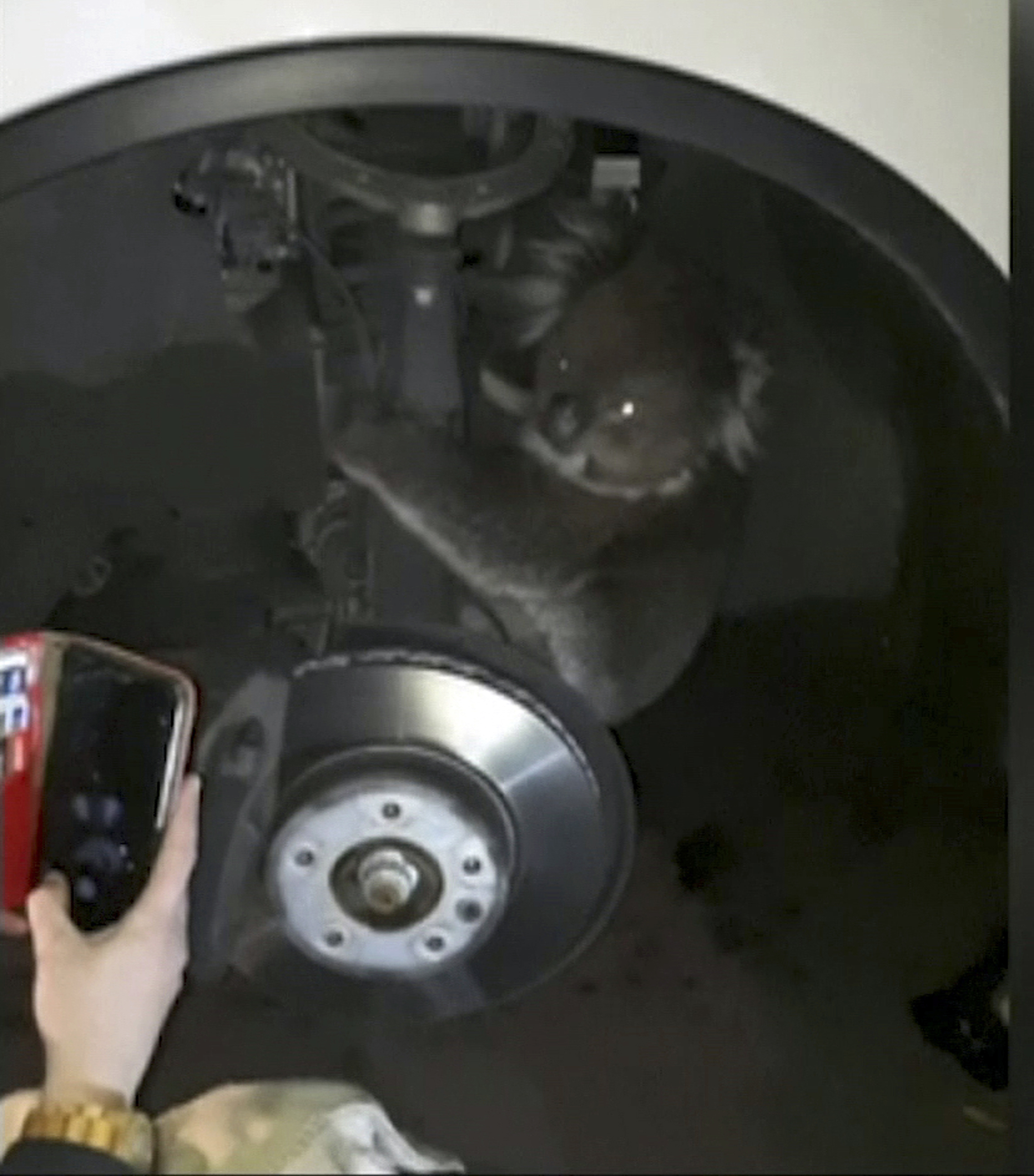 Koala survives 10-mile Australia trip in wheel arch