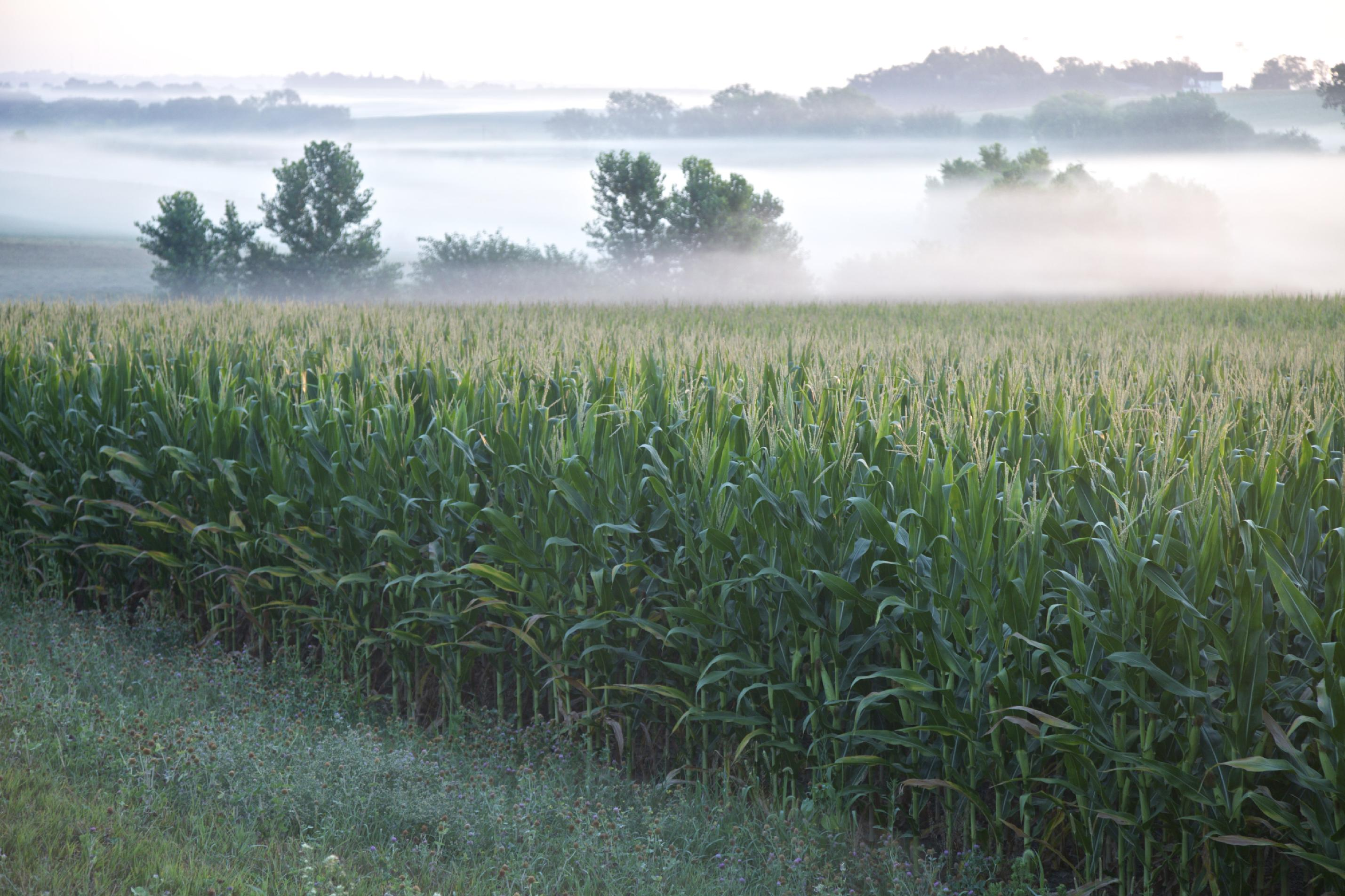 A corn field shrouded by fog near Springfield, Neb. (AP Photo/Nati Harnik, file)