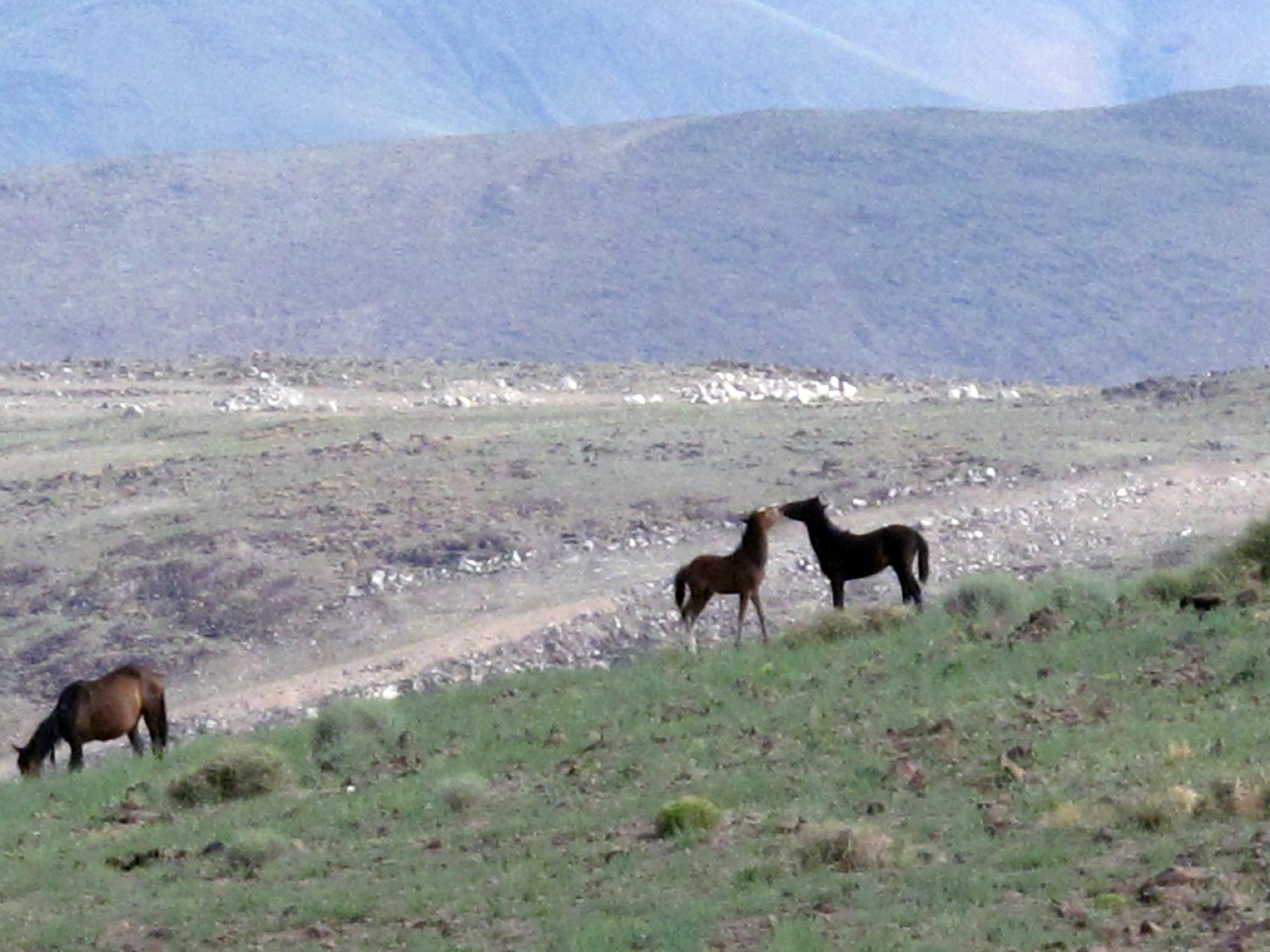 Wild mustangs play on the hills at the Tahoe Reno Industrial Center