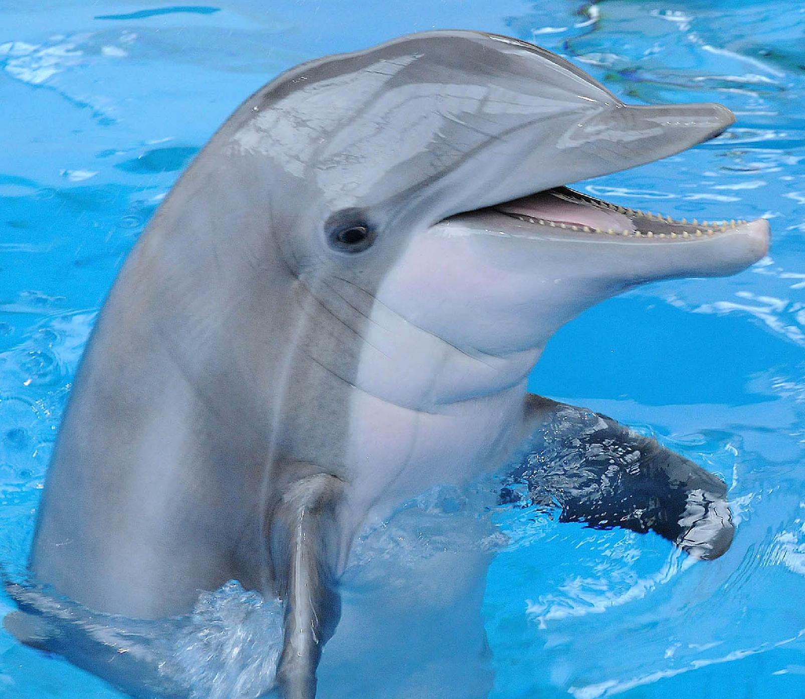 This Oct. 3, 2012, photo provided by the Brookfield Zoo, shows the dolphin Allie at the zoo in Brookfield, Ill. (AP Photo/Brookfield Zoo, Jim Schultz)