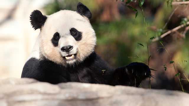 Pandas Become Diplomatic Casualties