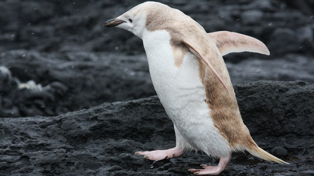Rare White Penguin Spotted in Antarctica (ABC News)