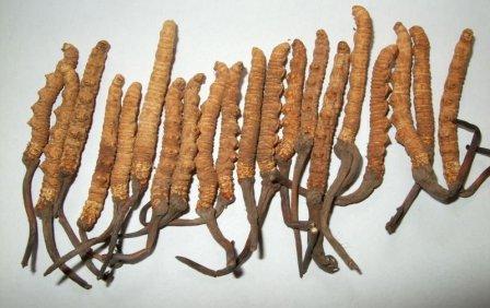 http://media.zenfs.com/id_ID/News/DuniaFitness.com/Jamur-Ulat-Cordyceps-Sinensis.jpg