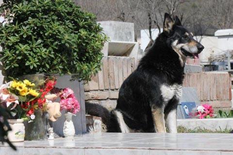 Chú chó trung thành 6 năm canh mộ chủ