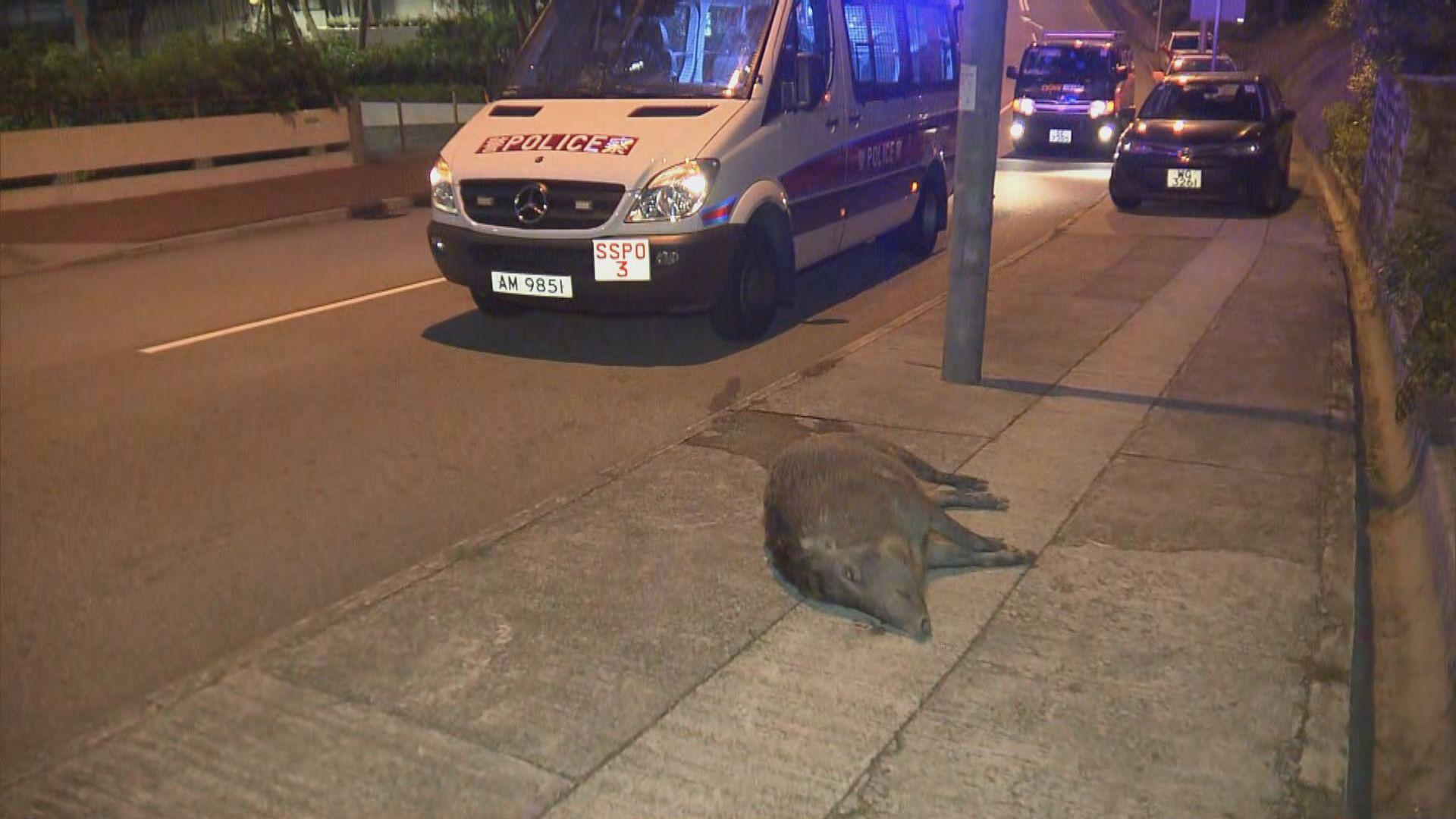 中型野豬被發現倒斃畢架山路邊