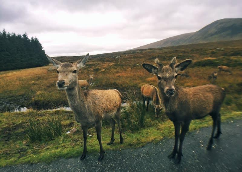 在A82公路上遇到可愛的鹿群。Photographer | Serina Su