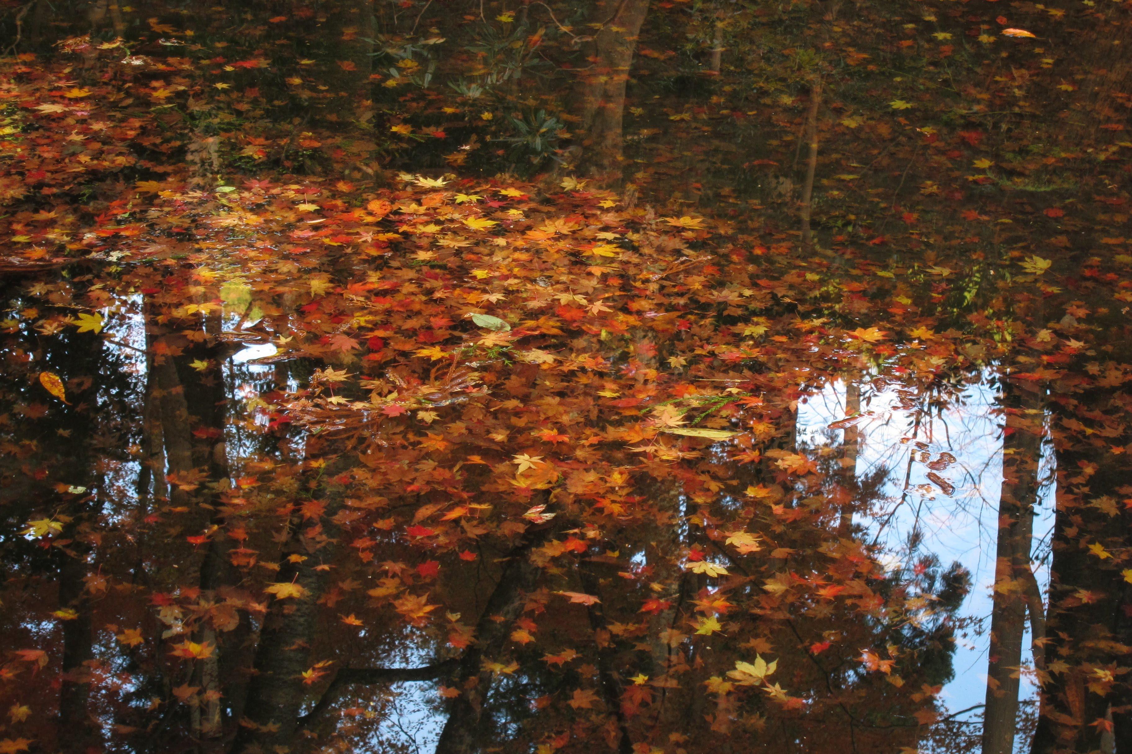 池中堆積的,也是金黃或是艷紅的楓葉