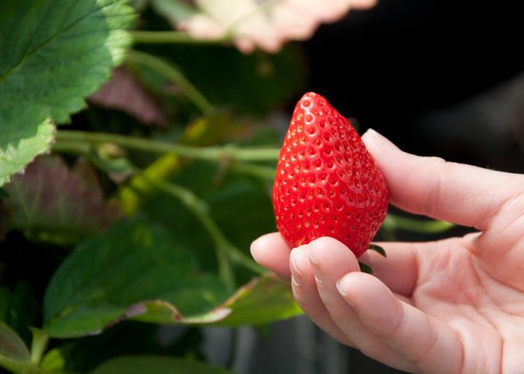 草莓莖的部分是非常纖細的,採收時要小心不要壓壞果實。