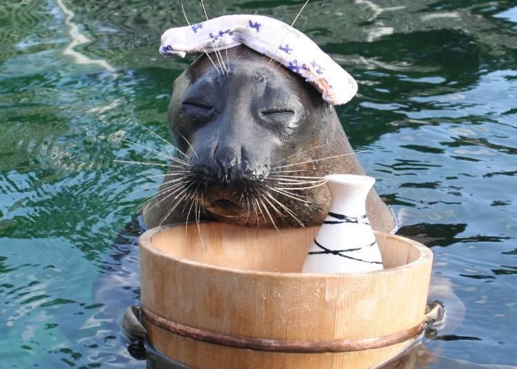 能深深感受到日本風情,獨一無二的海豹秀!