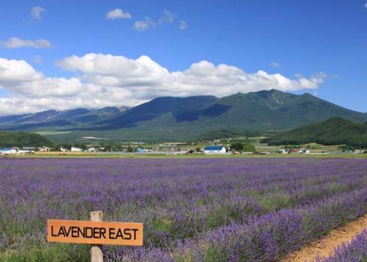 面積是東京巨蛋三倍大薰衣草花田,種植了9萬株的薰衣草。