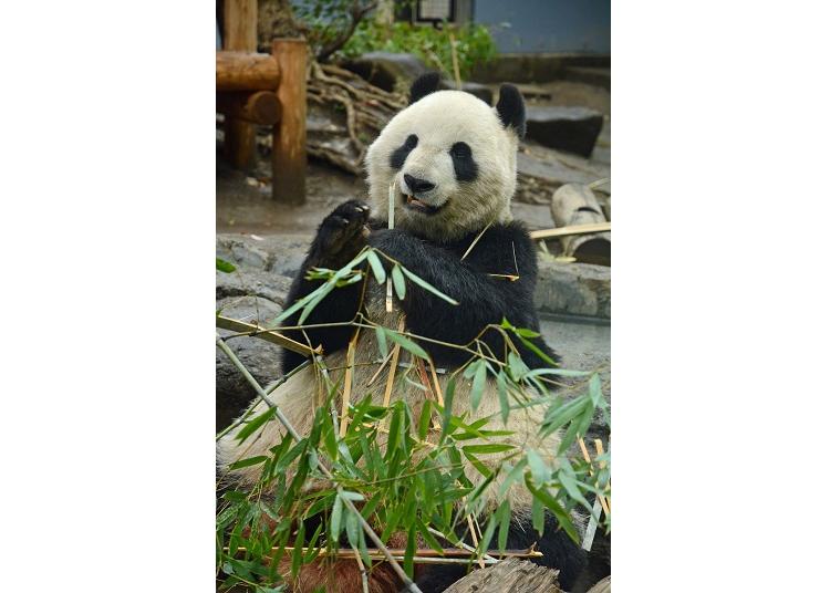上野動物園的超級明星-熊貓,照片是真真
