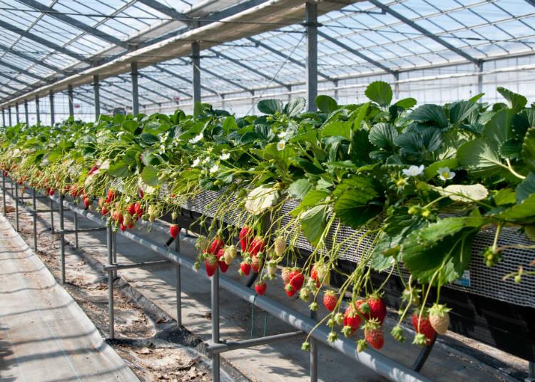 一顆顆伸手就能輕鬆摘取的草莓。