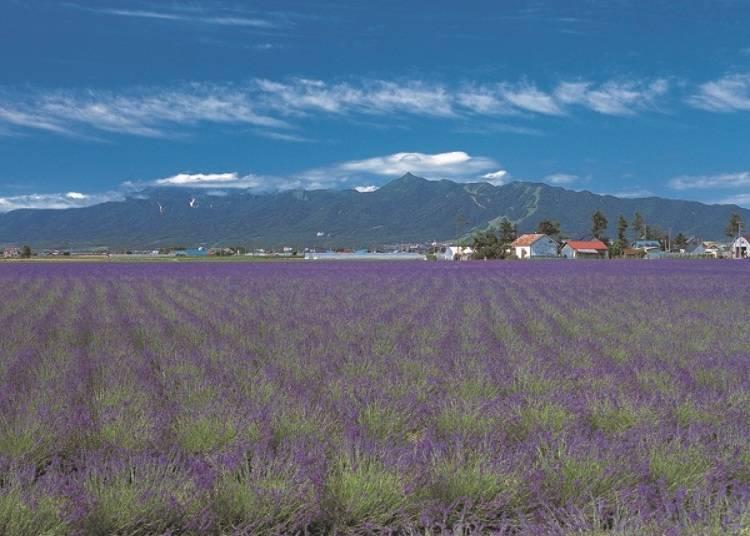 栽培的品種有「濃紫早開」和「丘紫」。每年的7月中旬前後是最佳賞花期