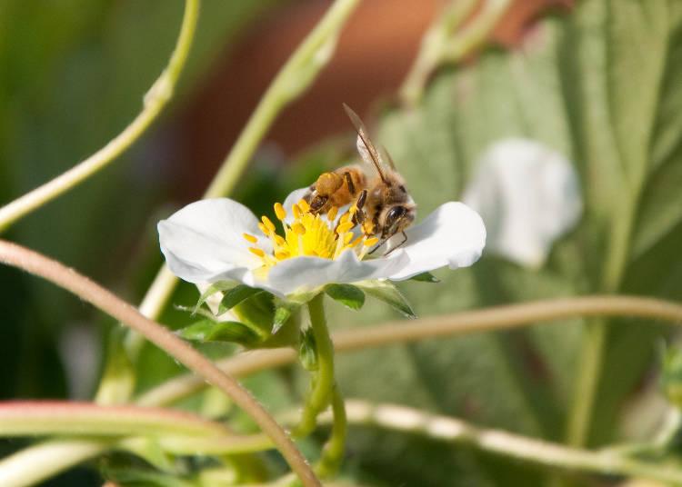只要不要去刺激蜜蜂,牠也不會隨便螫人,所以可以放心地採收草莓。