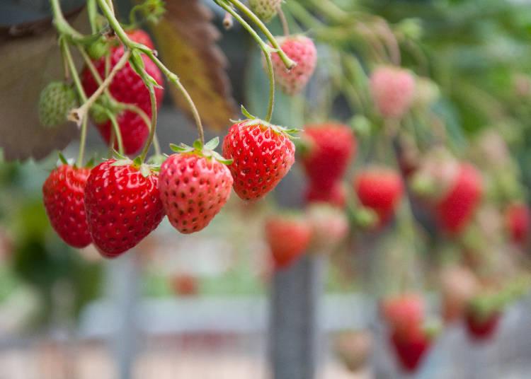 圖為鎌倉觀光草莓園的自家品牌草莓(オリジナルブランドのイチゴ),但外觀與「紅顏(紅ほっぺ)」相當類似。