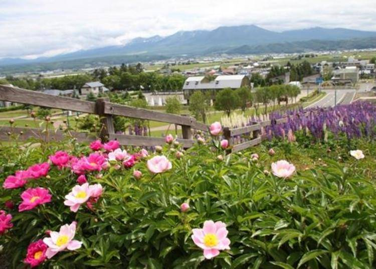 還可以欣賞芍藥、萬壽菊和白色品種的粉萼鼠尾草等其他品種的花卉。