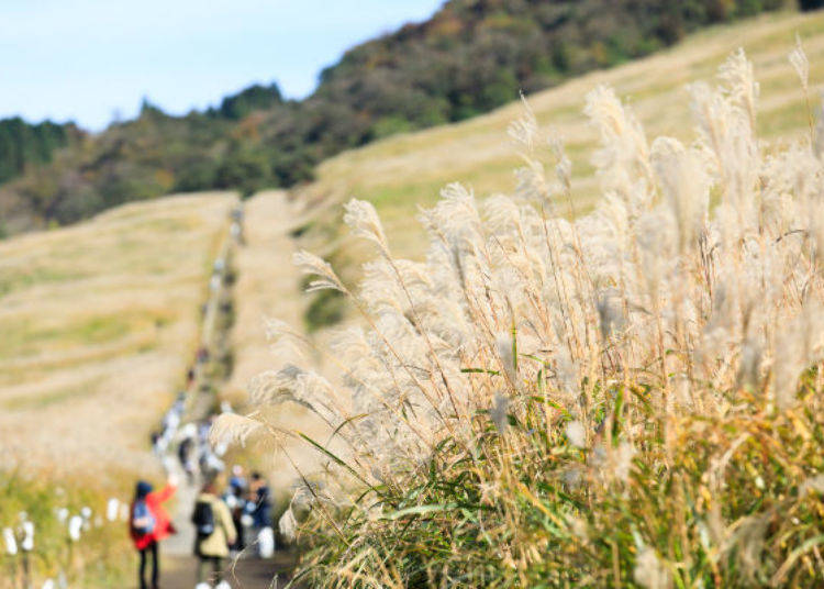 ▲走道兩旁無邊際的大片芒草草原