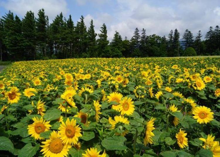 一朵朵充滿活力的向日葵。每年8月上旬是欣賞向日葵的賞花期。
