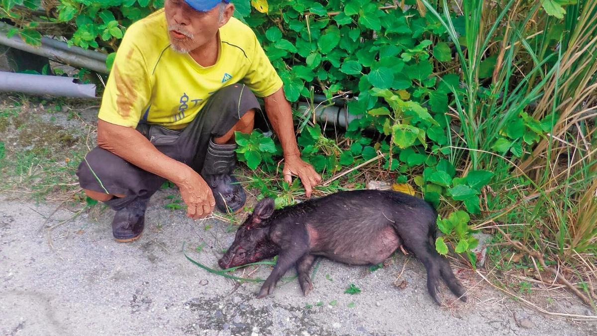 蘭嶼達悟族人捕獲野豬,可向鄉公所領取獎金,按豬隻大小每隻從1,000至6,000元不等。(讀者提供)