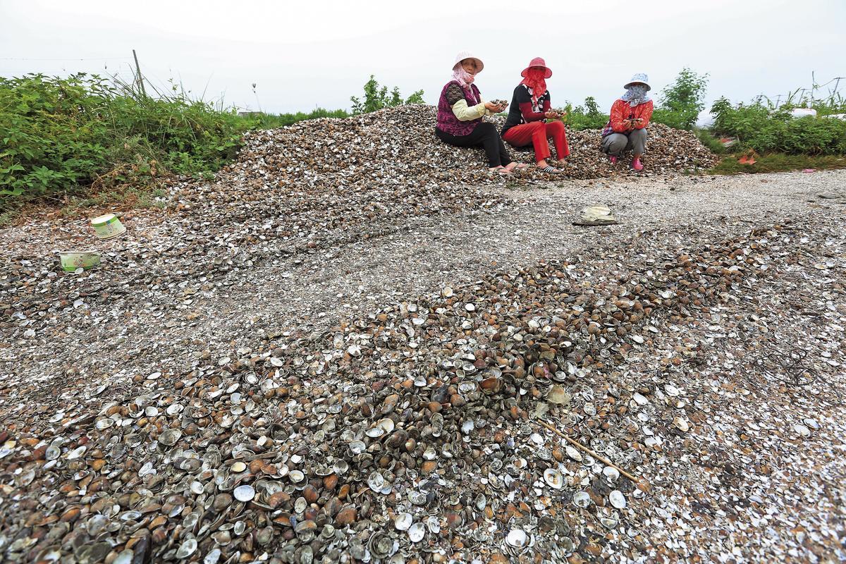 雲林口湖近日傳出文蛤大量暴斃,文蛤空殼多到可舖成「文蛤墳墓」,讓養殖戶內心淌血。