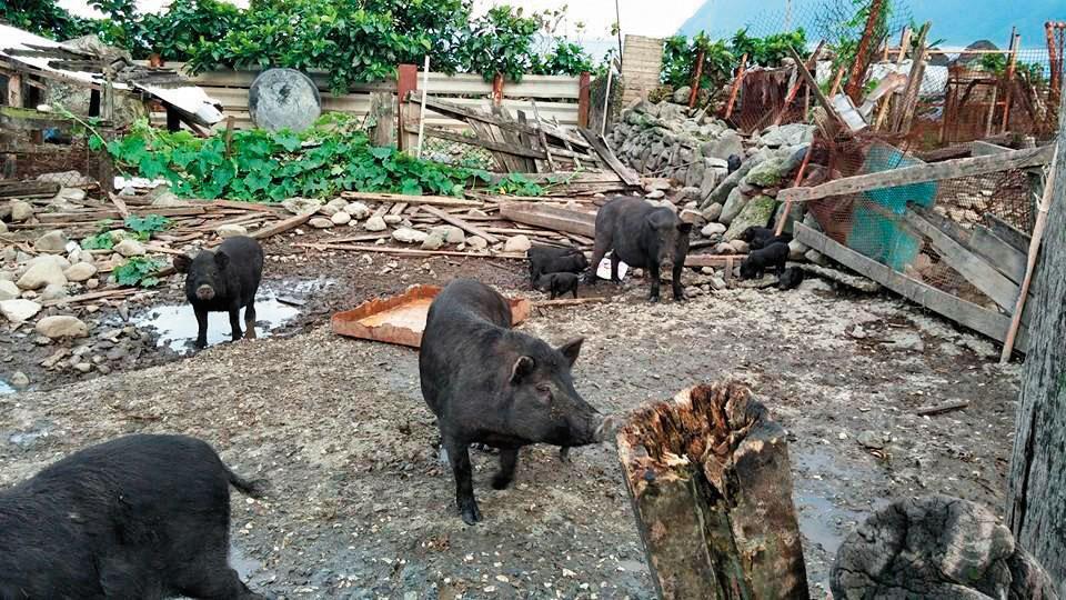 蘭嶼曾迎戰17級強風,島上豬舍柵欄傾倒,讓家豬頓時成了「自由放牧」。(讀者提供)