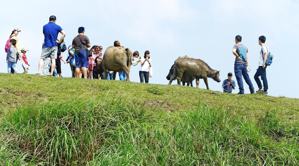 陽明山擎天崗上的野化水牛遭逗弄易發怒而進擊旅客,陽管處斟酌移除牛隻一勞永逸。