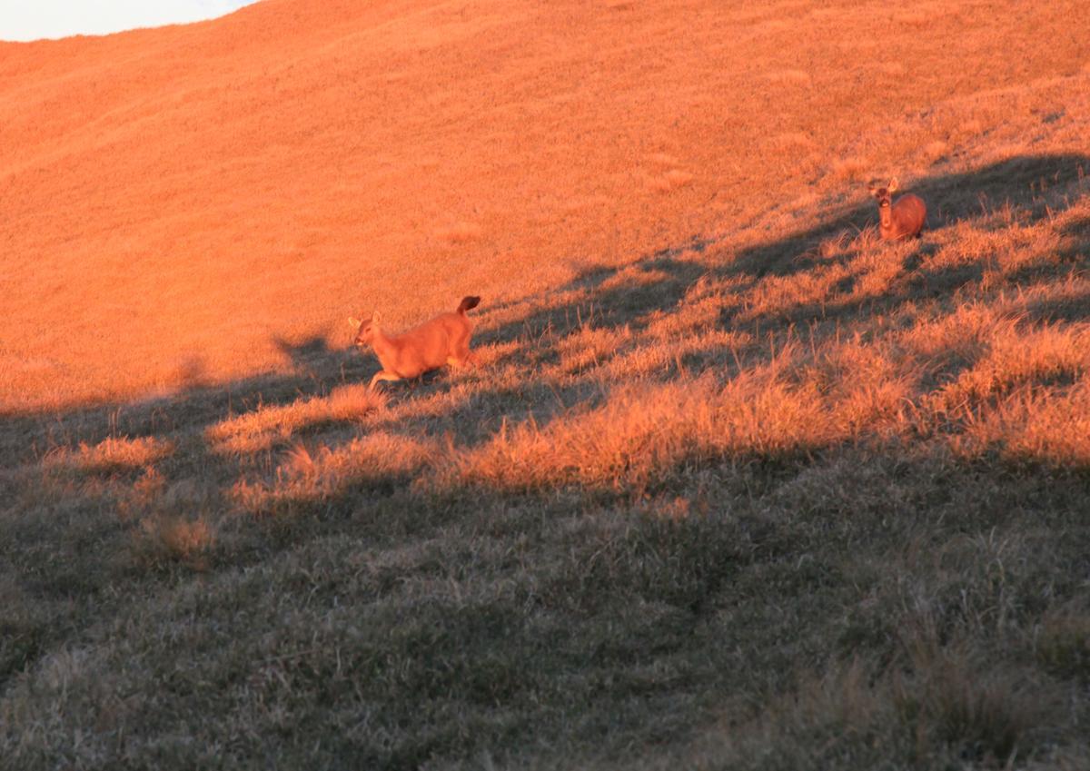 太陽升起之時,水鹿靈巧的奔跑。