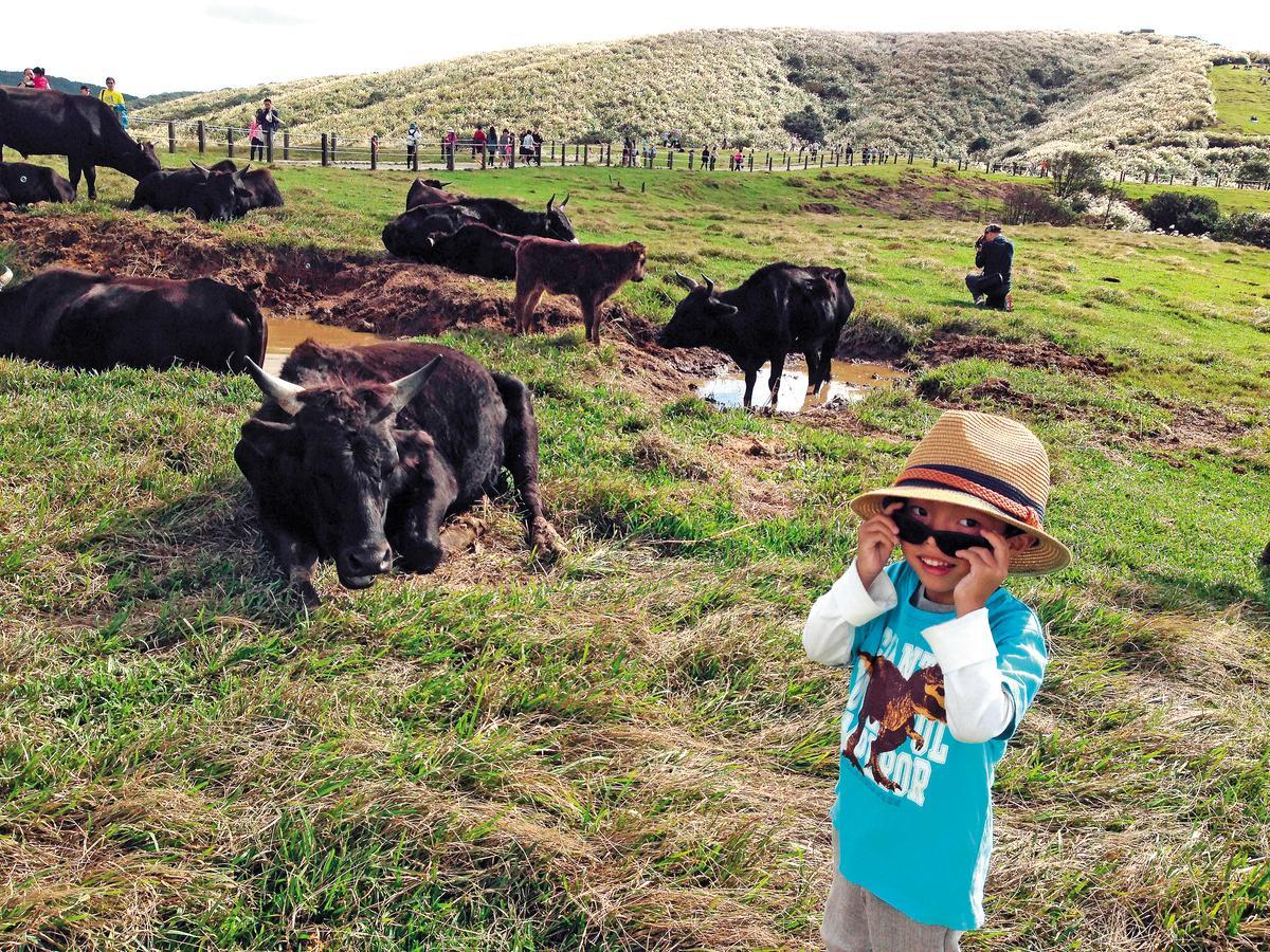 擎天崗牛群原本都是黑毛牛,恒久被人豢養相當溫馴,即便小伴侶接近攝影也不會危險。
