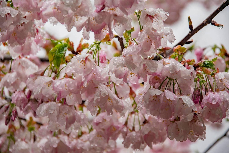 千櫻園內粉白的吉野櫻與大島櫻,已經綻放囉!圖:取自福壽山農場粉絲專頁