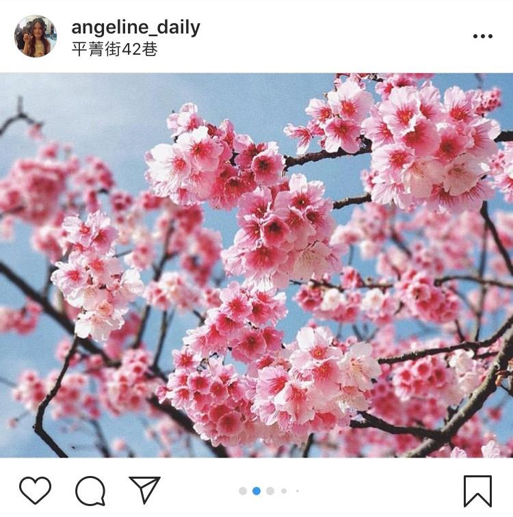 「平菁街42巷」是近幾年火紅的賞櫻地點。圖:翻攝自instagram angeline_daily/開放權限