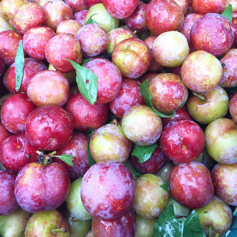 水里鄉新興村的水李又名桃接李,口感甜脆不軟牙,很受遊客歡迎。 圖:取自雲清李子園官方臉書