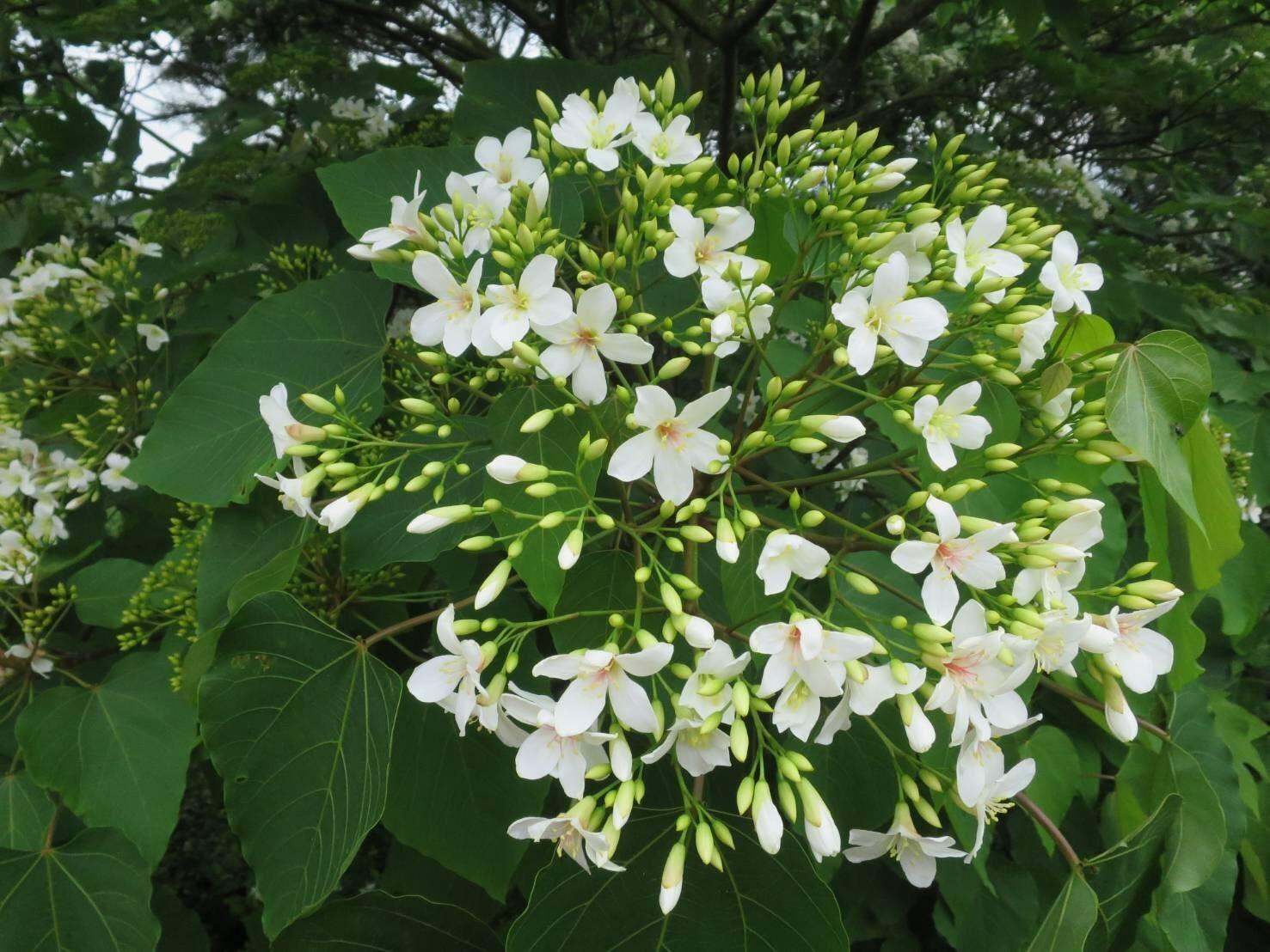 水里的油桐花現已盛開。 圖:董于安/攝