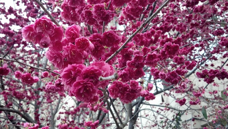 白冷圳種苗文化陳列館園區內盛開的櫻花。圖:農委會種苗改良繁殖場/提供