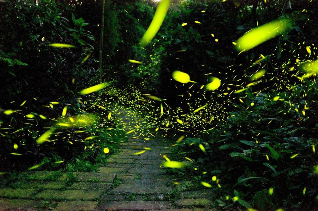 賞螢正當時,嘉義的螢火蟲現正爆發中,圖為竹崎鄉光華村光華賞螢步道。圖:取自慢遊嘉義螢向新世界活動網站