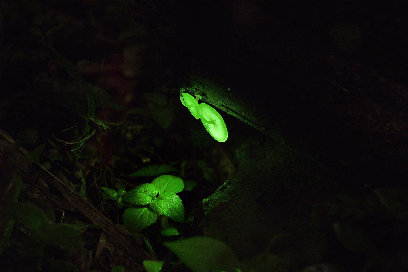 梅山鄉瑞里村螢光菇(發光蕈)。圖:林琮偉/攝