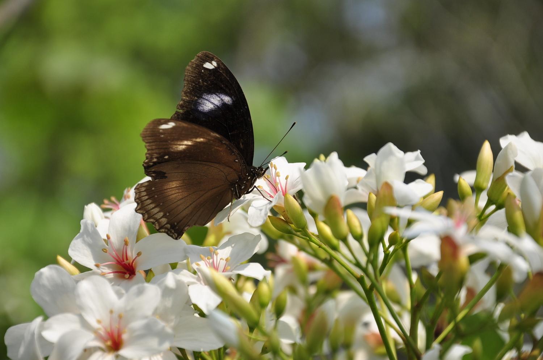 牛耳藝術渡假村擁有超過200棵油桐樹,現已陸續綻放,6-10月期間更是賞蝶好時節。圖:蕭沛涵/攝