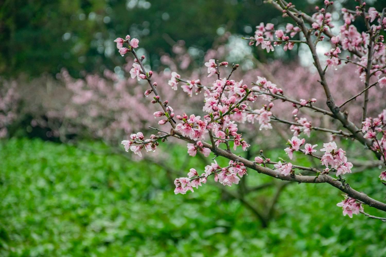 福壽山農場的桃花林,圖:取自福壽山農場粉絲專頁