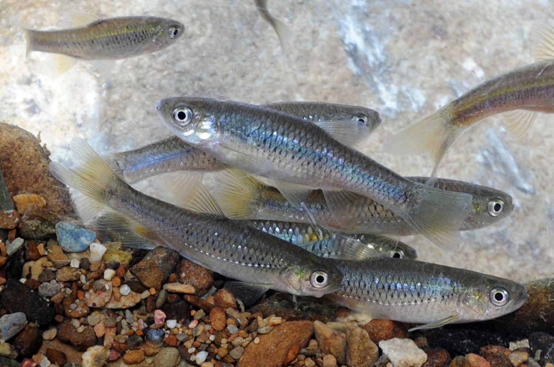 一新社区复育成功的台湾白鱼「台湾副细鲫」(Pararasbora moltrechti)。 图:一新社区发展协会/提供