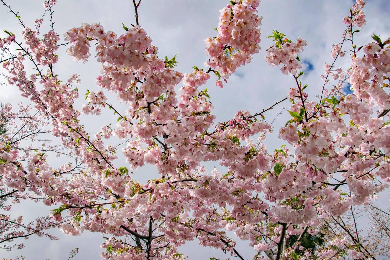 福壽山農場內千櫻園的吉野櫻美景。圖:取自福壽山農場粉絲專頁