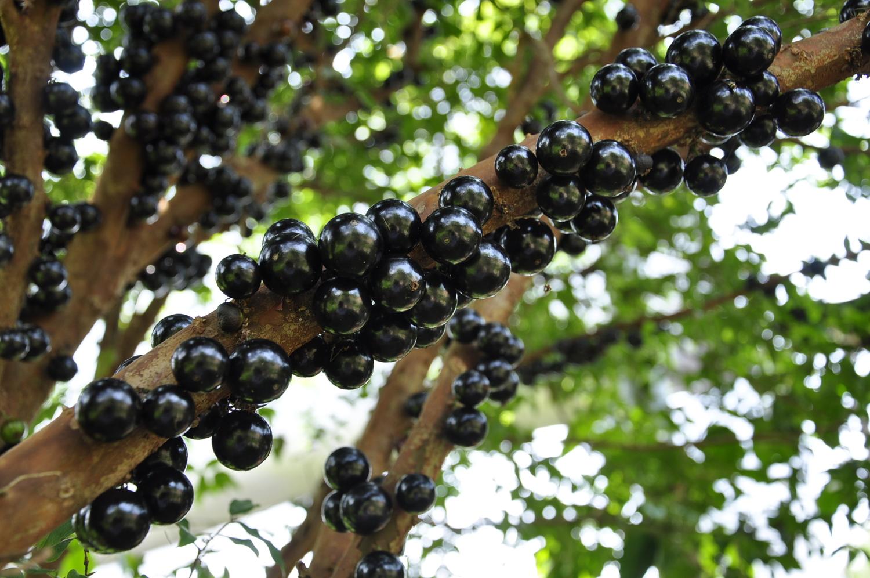 阿嫁婆与阿嫁公亲自种植的树葡萄。 图:萧沛涵/摄