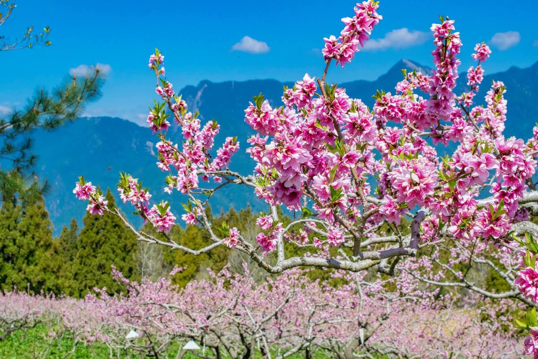 福壽山農場水蜜桃園內矮化的桃樹,開花時桃花就在身邊綻放一樣。圖:取自福壽山農場粉絲專頁