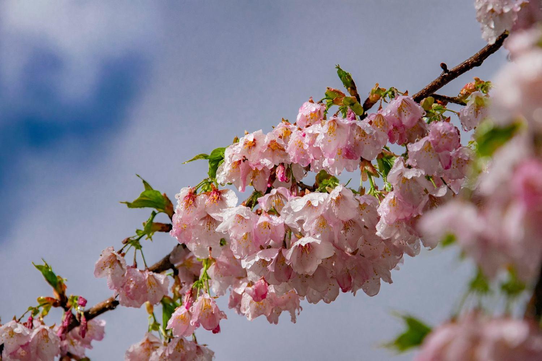 福壽山農場千櫻園開放時間為上午七點至下午五點。圖:取自福壽山農場粉絲專頁